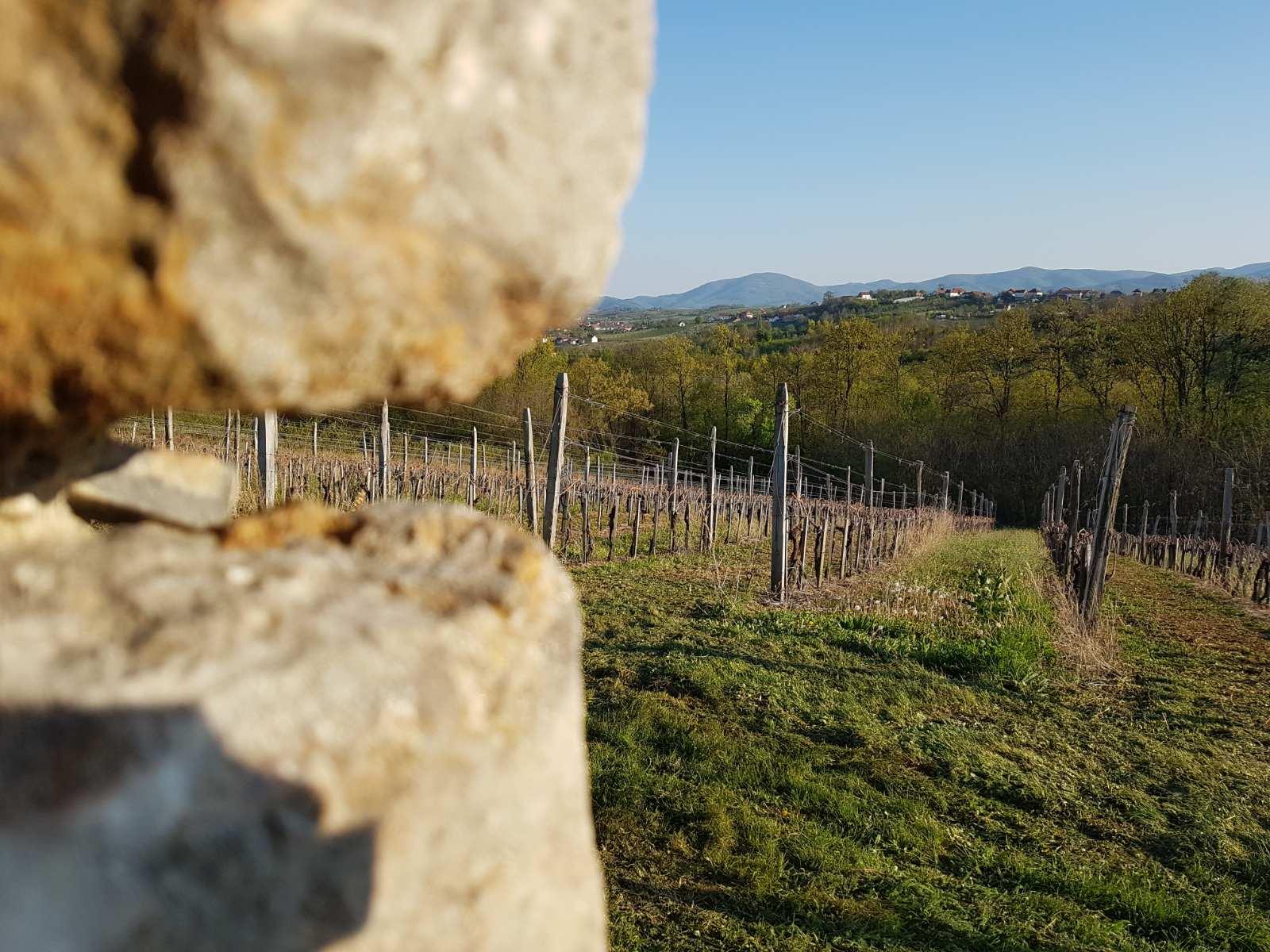 vinograd vinarije arsenijević