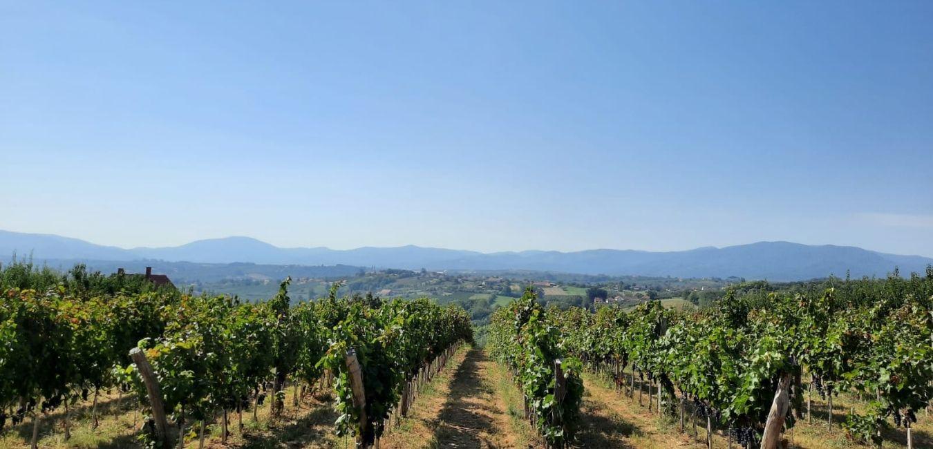 vinograd vinarije arsenijevic