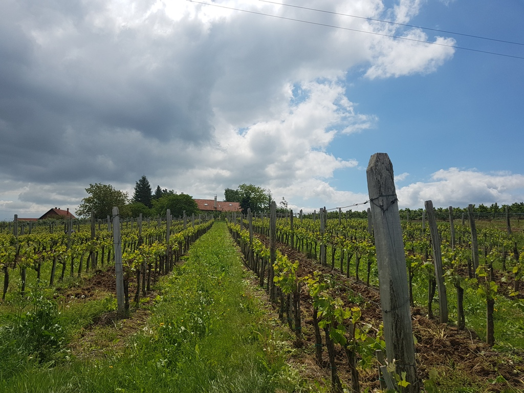 vinograd vinarija arsenijević