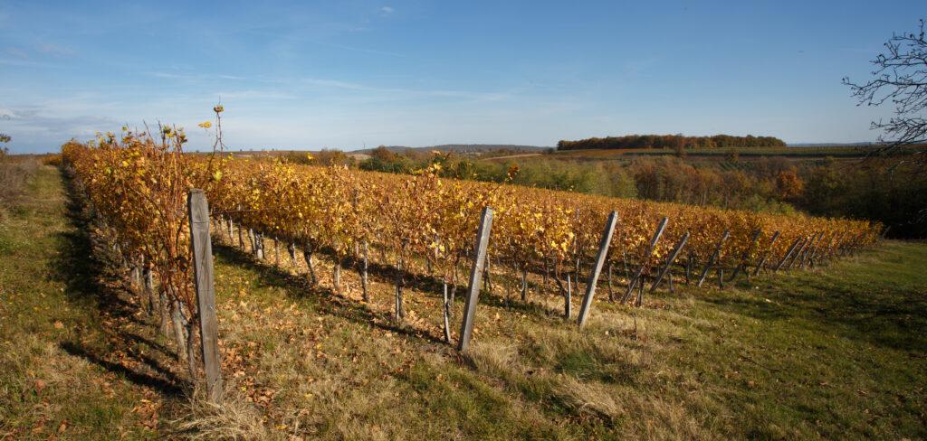 vinograd arsenijević